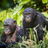 Lola ya Bonobo