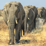 Elephant Walks