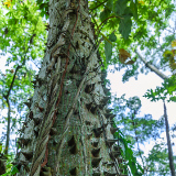 The Cotton Tree