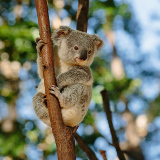 Cohuna Koala Park