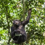 Tchimpounga Chimpanzee Rehabilitation Centre
