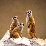 Kalahari Meerkat Project