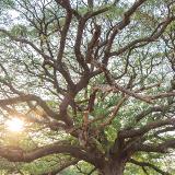 Mupapa Slave Tree