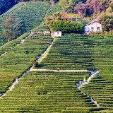 Longjing Tea Fields