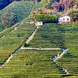 Longjing Tea Fields