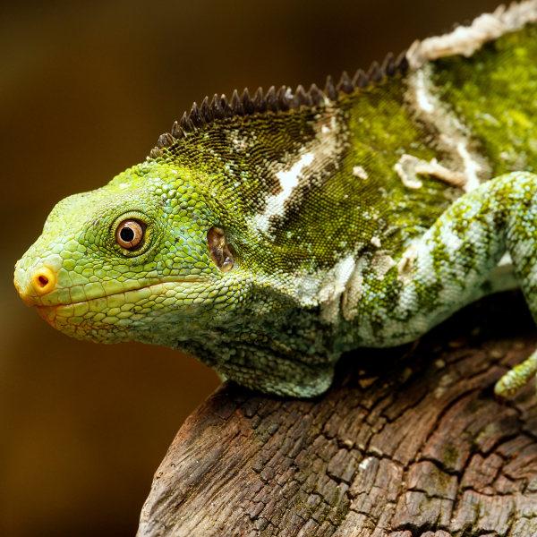 Crested Iguana Fiji