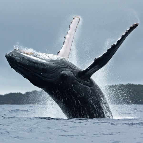 Tonga Humpback Whale
