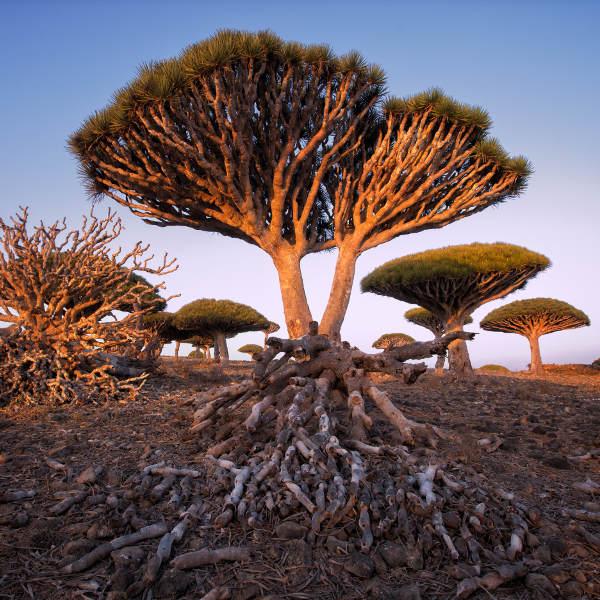 trees yemen
