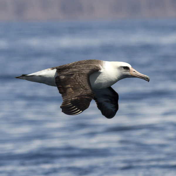 Laysan Albatross Nauru