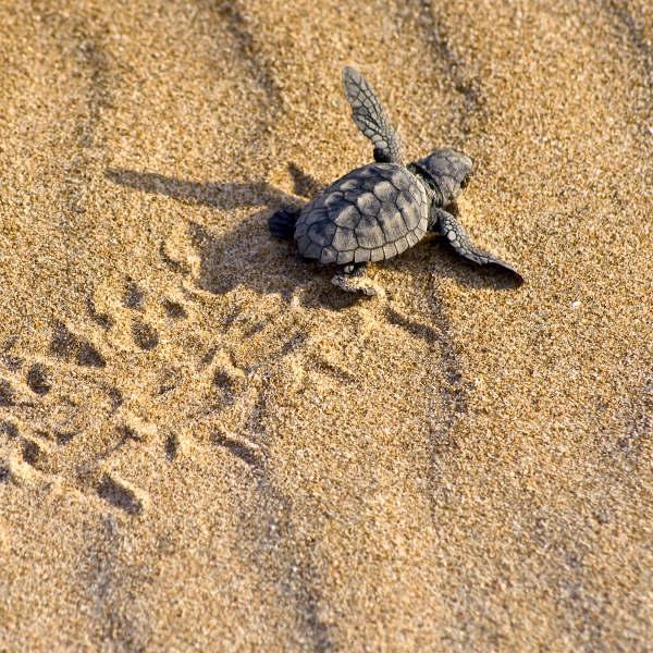 cape verde loggerhead turtles