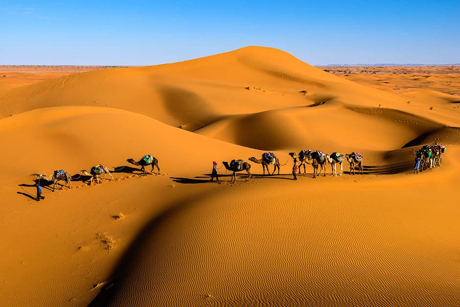 Camels walking the desert in Jordan