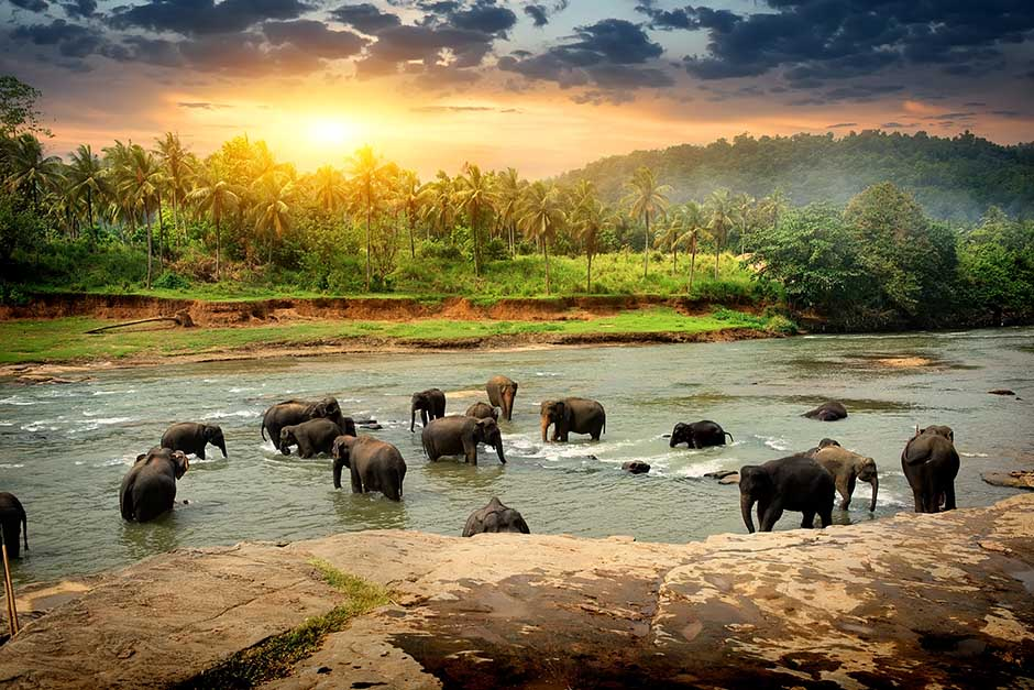 wild elephants in the forest river enjoying the water in Sri Lanka