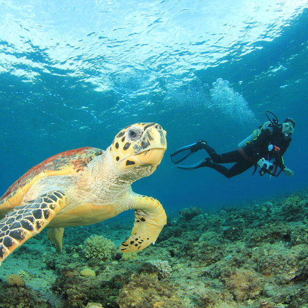 Hawksbill Turtle Marsa Alam
