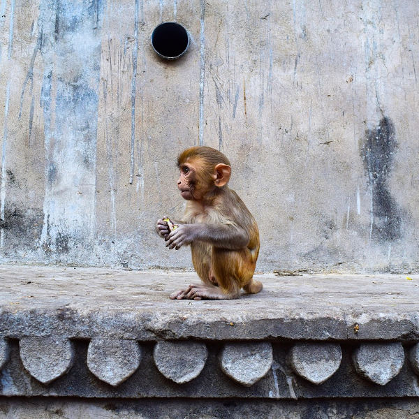 jaipur monkeys