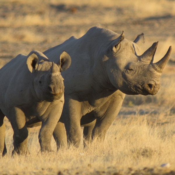 Black Rhinos in Khomas