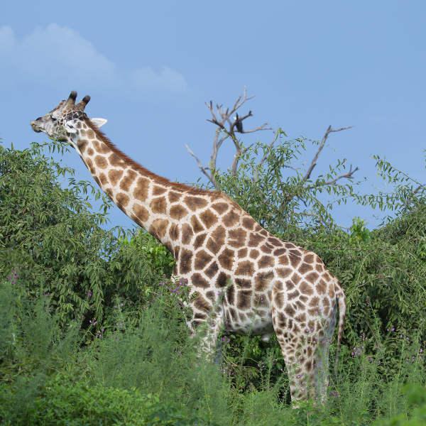 Maun Giraffe