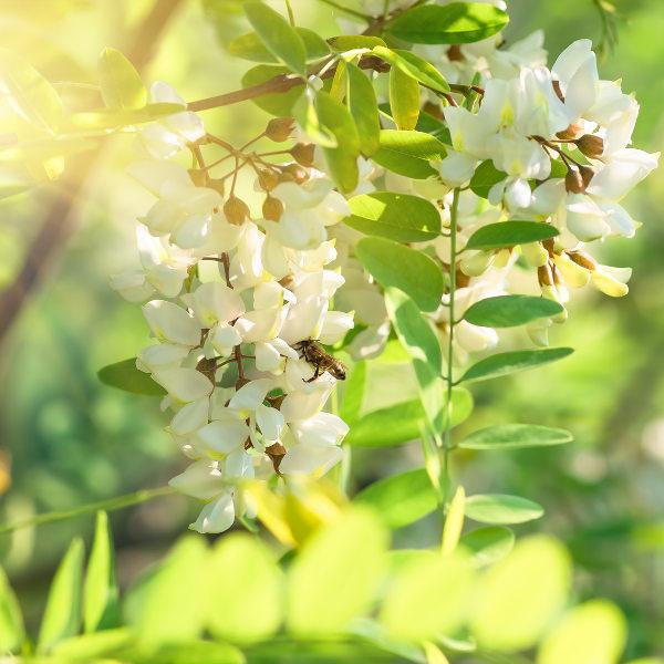 Impalila Island Acacia Flowers Katima