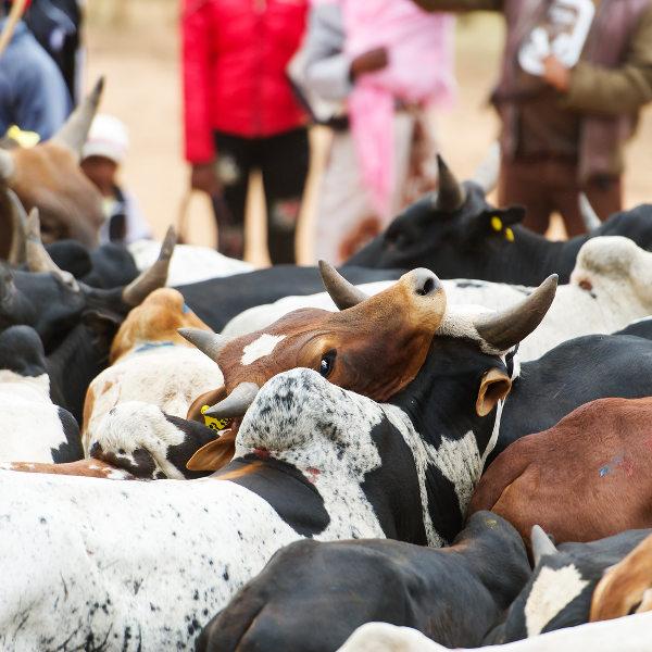 juba cattle market