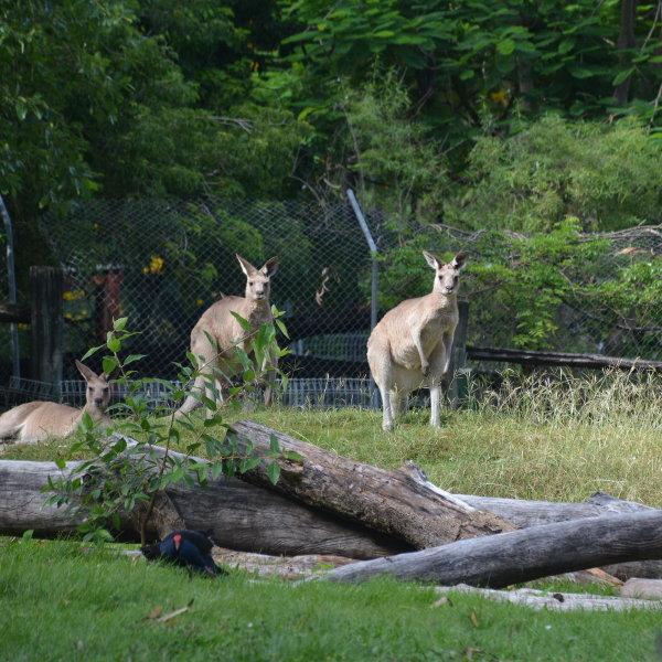 Rockhampton Botanical Garden Kangaroos