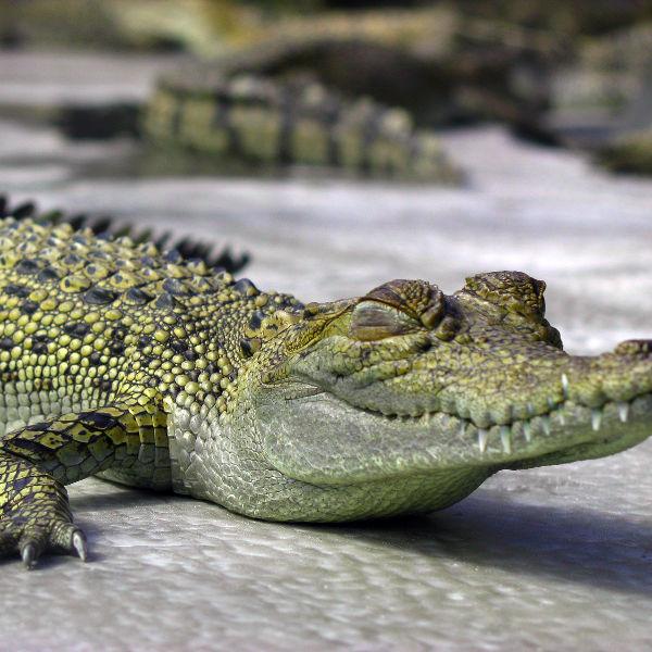 darwin-baby-crocodile