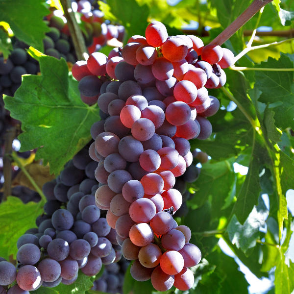 brindisi vineyard grapes