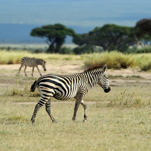 Zebras at Nairobi National Park