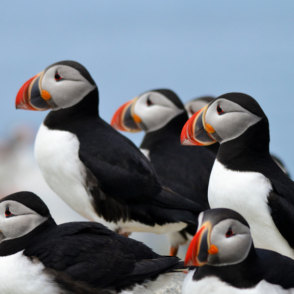 puffins-relaxing-in-guernsey