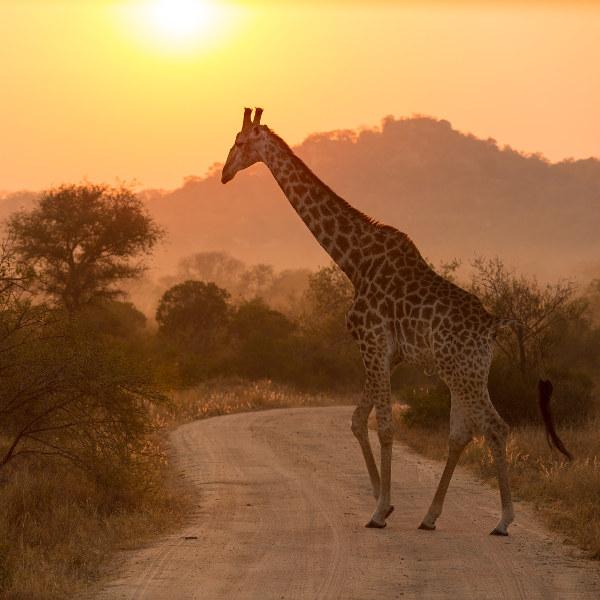 Giraffe Kruger National Park Phalaborwa