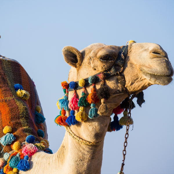 colourful tassles on camel