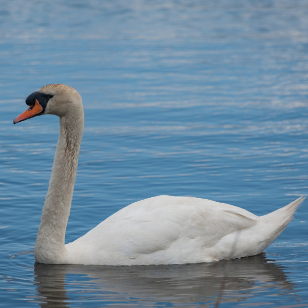 swan in newport wetlands reserve