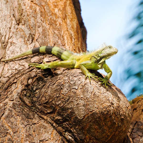 green-iguana-guayaquil