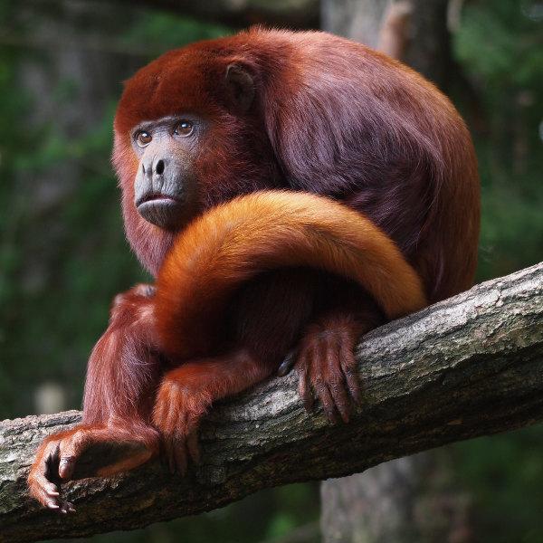 bronze ape