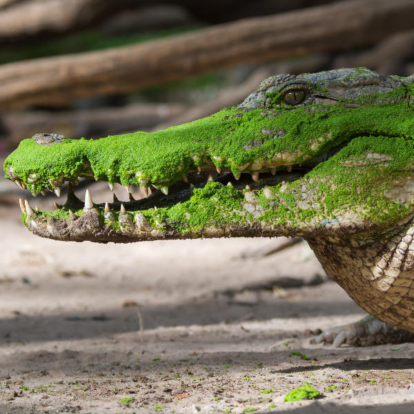 ndjamena west african crocodile