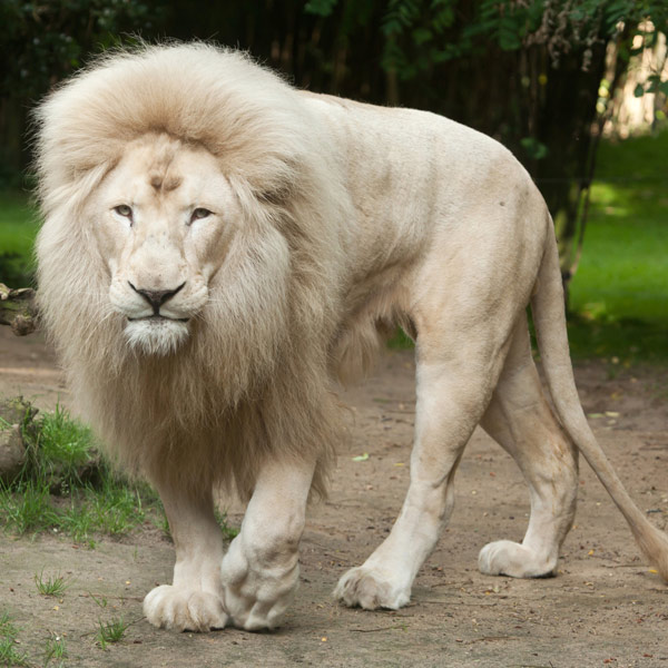 White Lion Inkwenwezi East London
