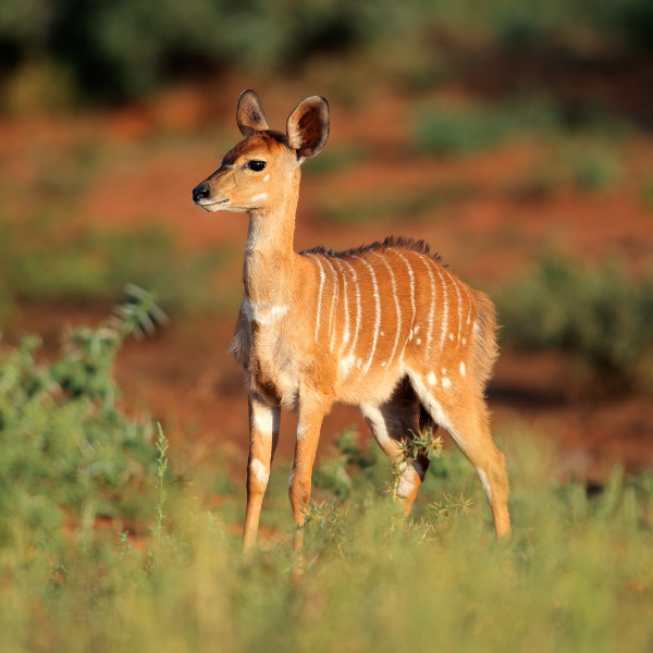 Nyala Mokala National Park Kimberley