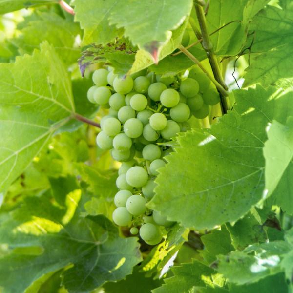 Wine Estates Upington