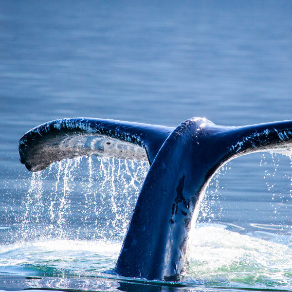 whale-watching-madeira