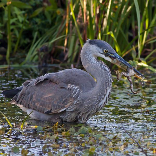 swamp-blue-heron-lafayette