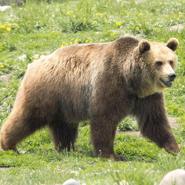 Grizzly Encounters Bozeman