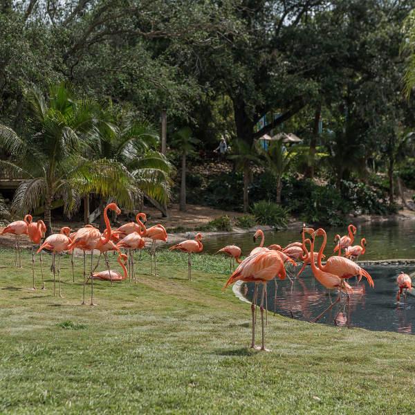 Busch Gardens Flamingos Tampa