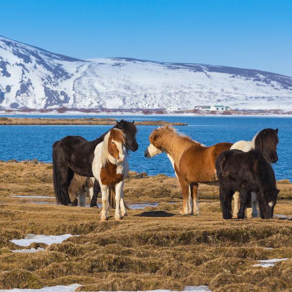 wild-horses-kopagovur
