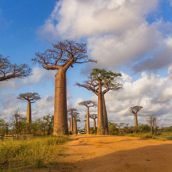 baobab streets