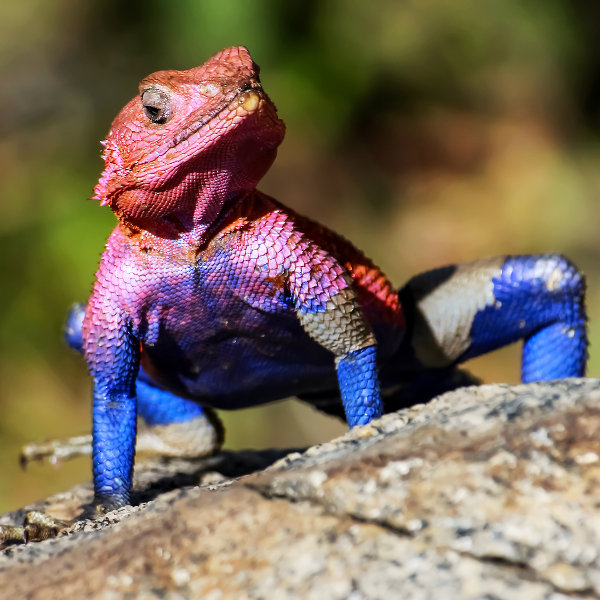 colourful lizzard