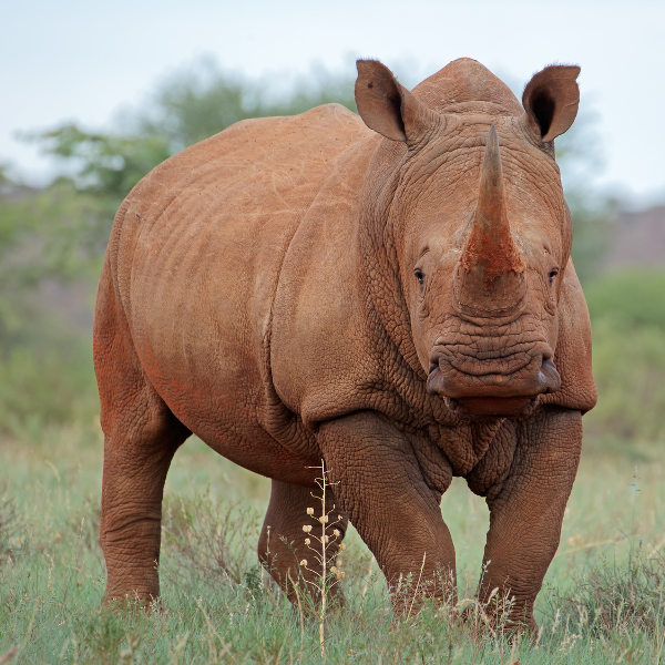 rhino-wild-malawi
