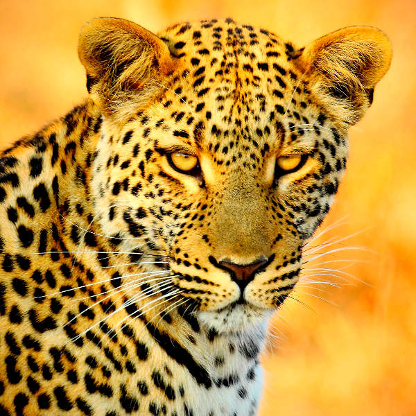 botswana wildlife experiences