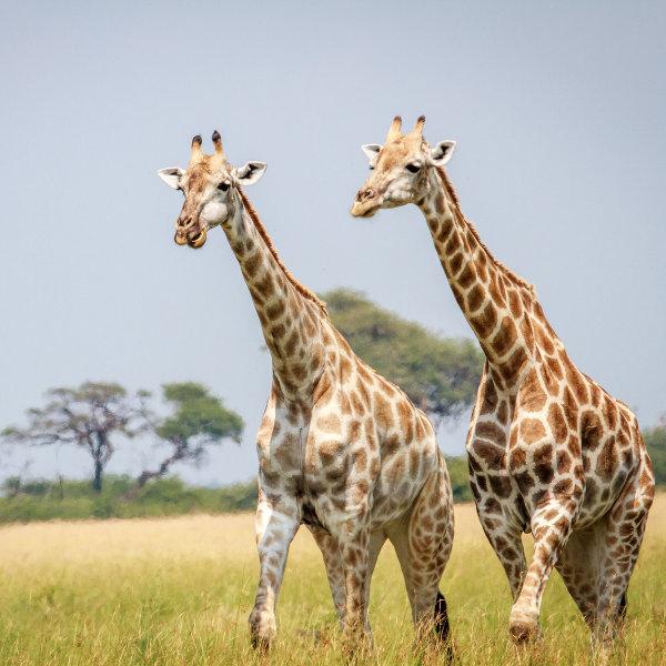 wildlife-swaziland-giraffes