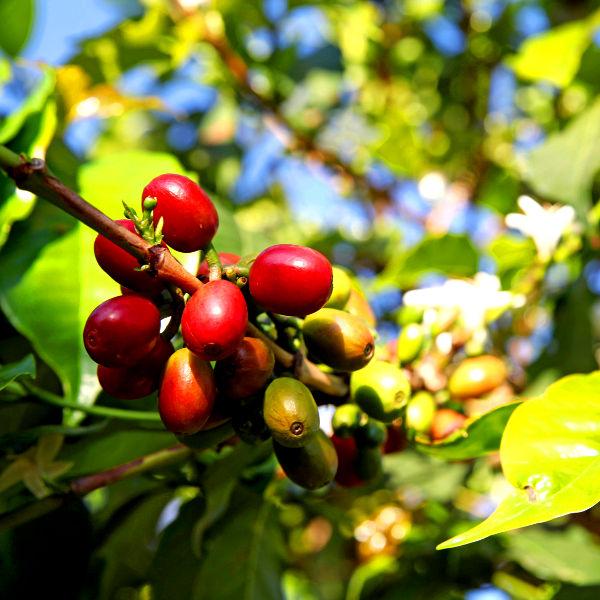 rwanda amazing coffee