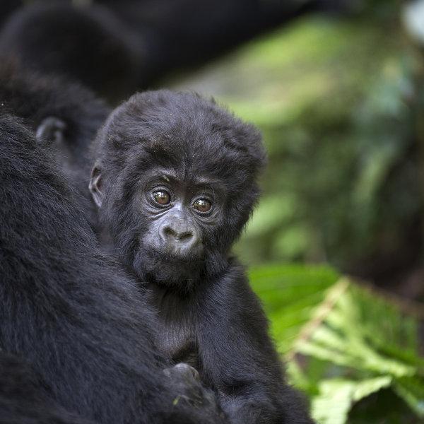 gorilla-nature-drc