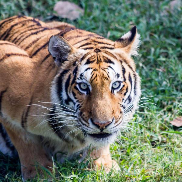 bengal-tigers-bangladesh