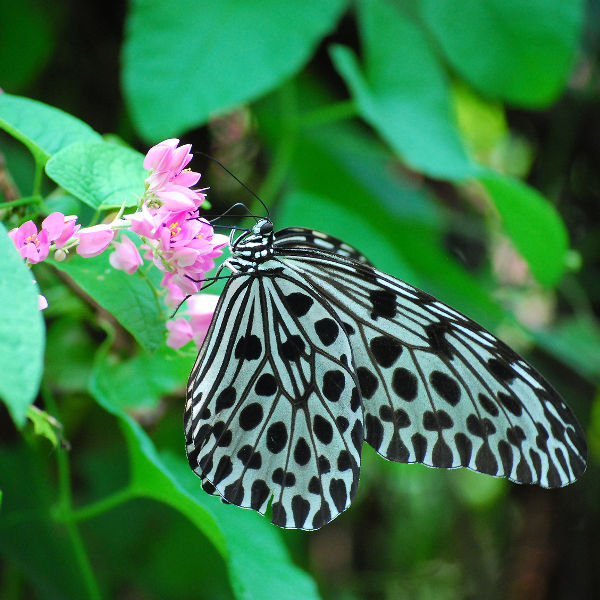 butterfly black white